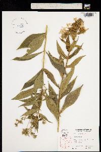 Image of Phlox paniculata