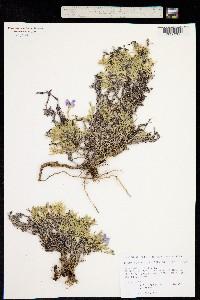 Phlox sibirica image