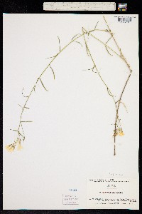Phlox tenuifolia image
