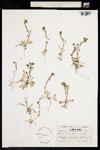 Image of Polemonium elegans