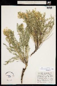 Polemonium brandegeei image