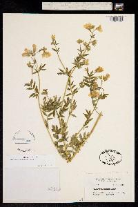 Image of Polemonium carneum