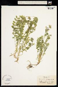 Image of Polemonium californicum