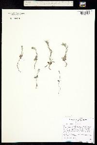 Buglossoides arvense image