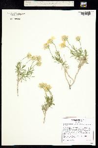 Image of Ericameria linearifolia