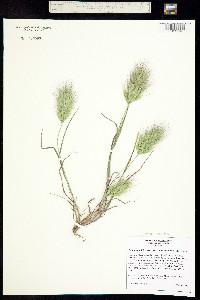 Image of Bromus madritensis