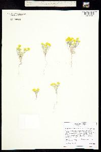 Image of Eriophyllum wallacei