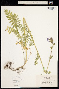 Polemonium occidentale image