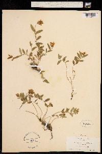 Polygala californica image