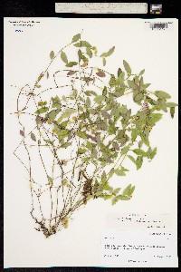 Image of Polygala californica