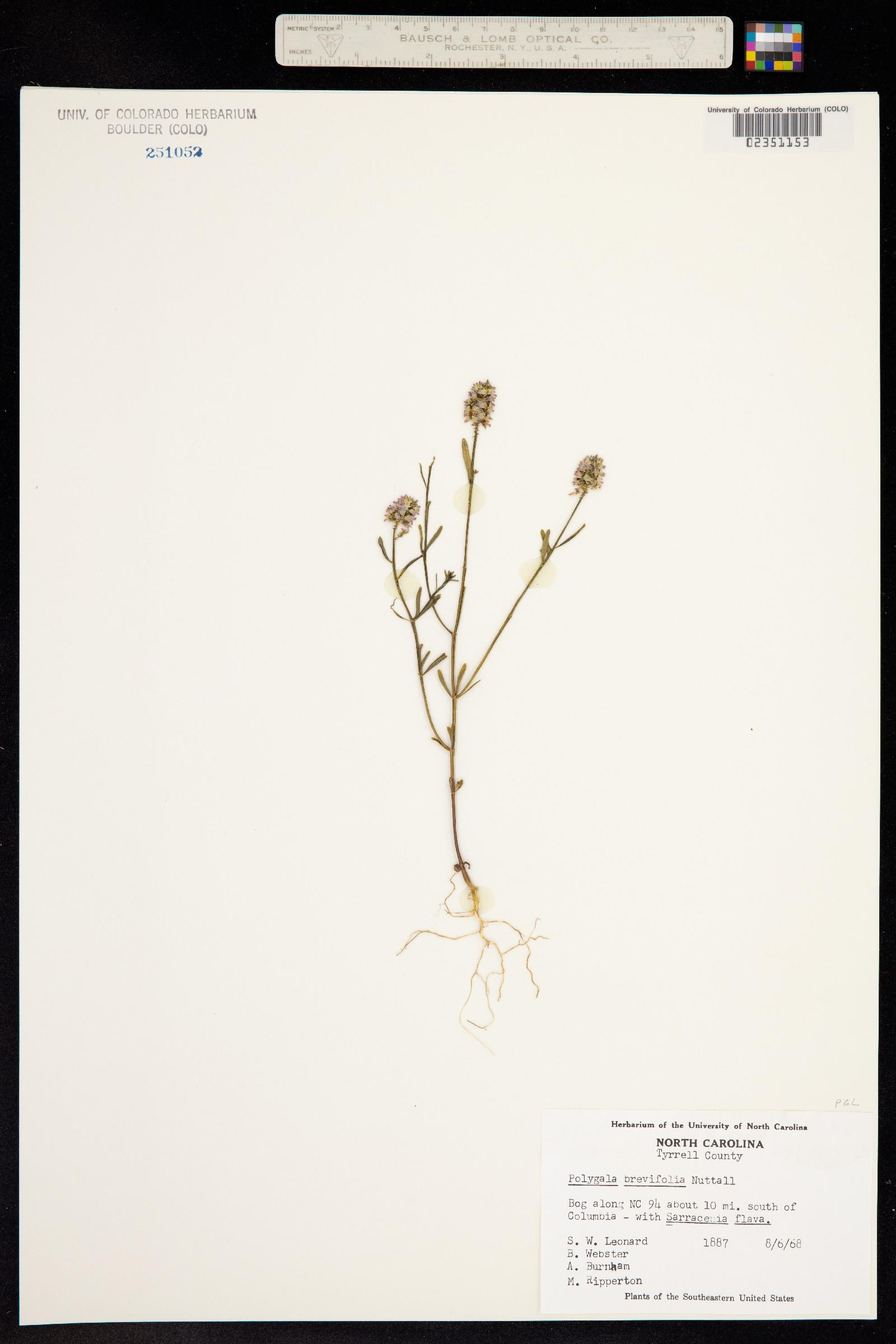 Polygala brevifolia image