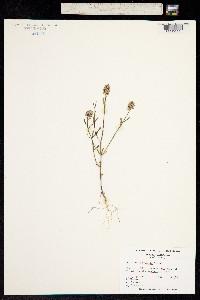 Image of Polygala brevifolia