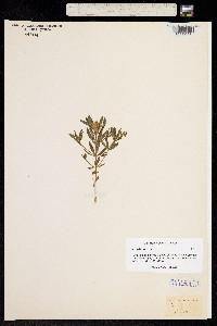 Image of Polygala cruciata