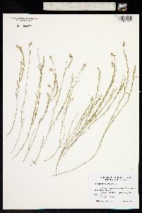 Polygala hemipterocarpa image