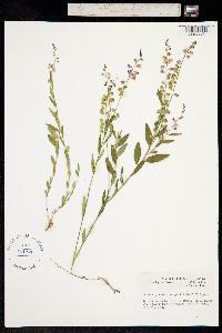 Polygala grandiflora image