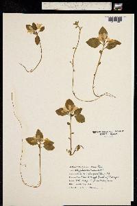 Image of Polygala paucifolia