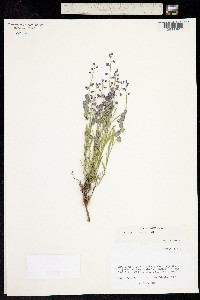 Image of Polygala obscura