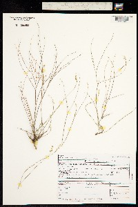 Polygala scoparioides image