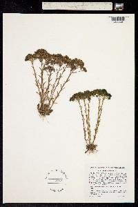 Image of Polygala ramosa