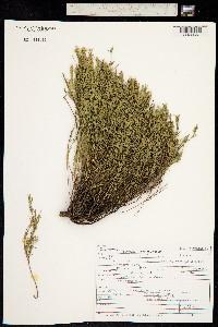 Polygala watsonii image