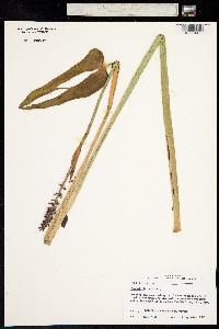 Image of Pontederia cordata