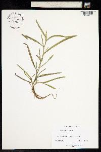 Image of Pontederia rotundifolia