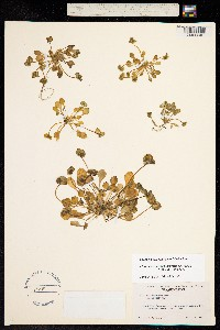Claytonia rubra image