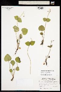 Claytonia cordifolia image