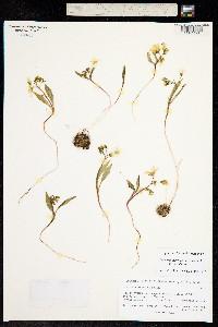 Image of Claytonia tuberosa