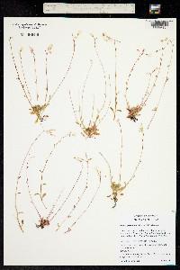Image of Claytonia flagellaris