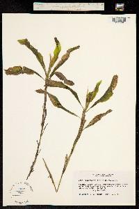 Image of Potamogeton amplifolius