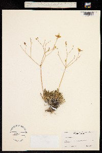 Talinum spinescens image