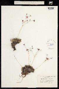 Phemeranthus spinescens image