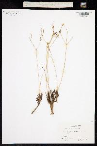 Image of Phemeranthus calycinus
