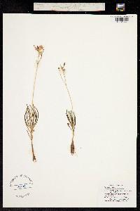 Phemeranthus calycinus image