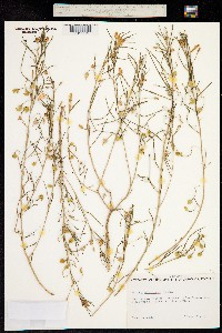 Talinum aurantiacum image