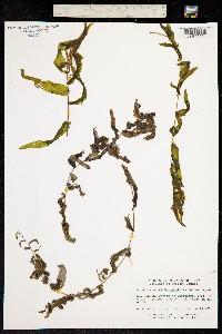 Potamogeton perfoliatus image