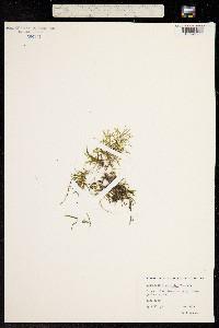 Image of Potamogeton spirillus