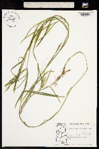 Image of Potamogeton zosteriformis