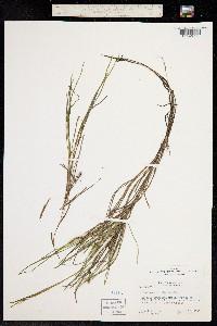 Stuckenia filiformis ssp. occidentalis image