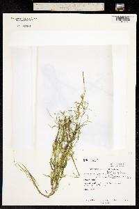 Image of Potamogeton strictifolius