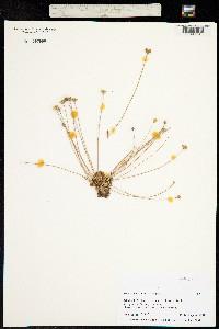Androsace alaskana image