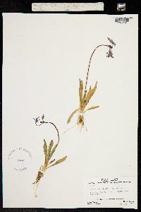 Primula tetrandra image