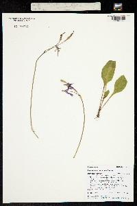 Dodecatheon cusickii image