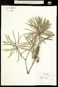 Callistemon linearis image