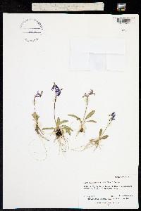 Dodecatheon pauciflorum image
