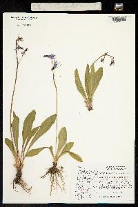 Primula jeffreyi image
