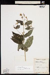 Lysimachia ciliata image