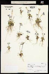 Primula borealis image