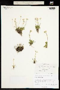 Primula anvilensis image
